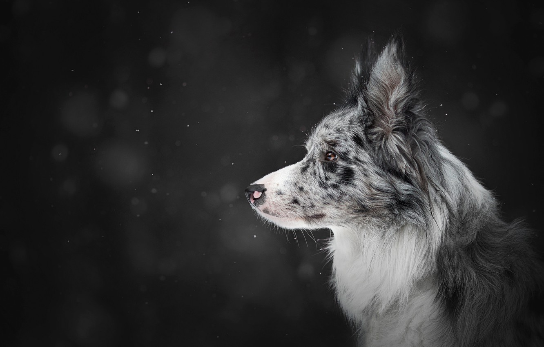 Photo wallpaper winter, snow, the dark background, dog, profile, snowfall, bokeh, the border collie