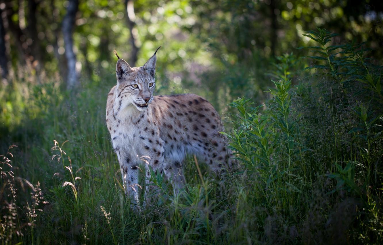 Photo wallpaper forest, summer, grass, nature, predator, lynx
