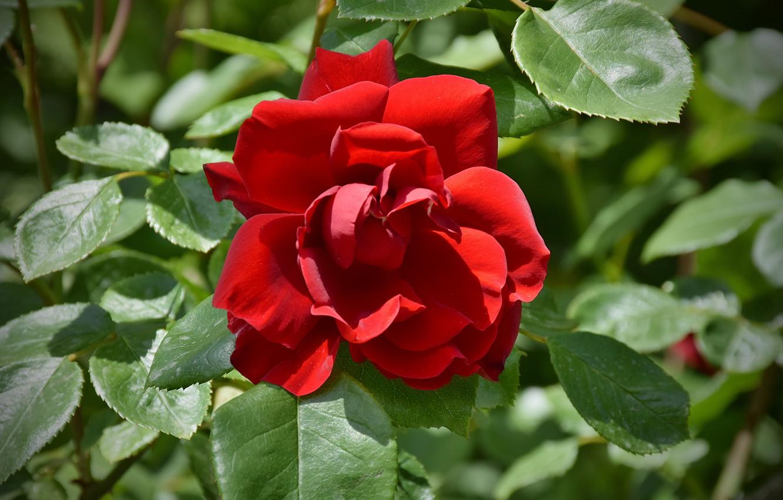 Photo wallpaper Rose, Rose, Red rose, Red rose