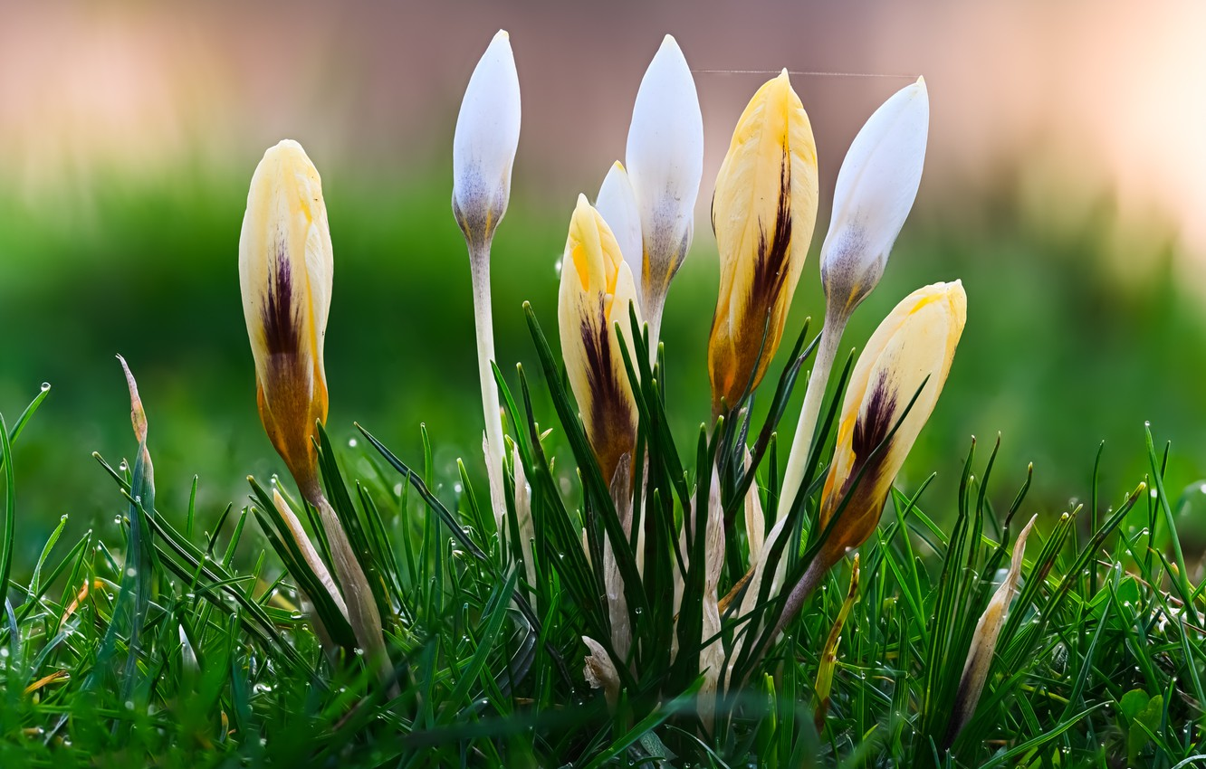 Photo wallpaper grass, drops, flowers, Rosa, glade, spring, yellow, crocuses, white