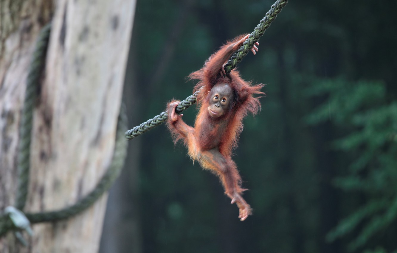 Photo wallpaper baby, rope, orangutan