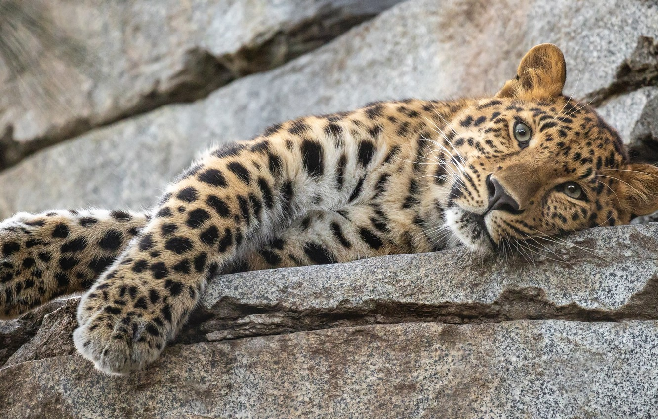 Photo wallpaper look, face, stones, paws, leopard, wild cat