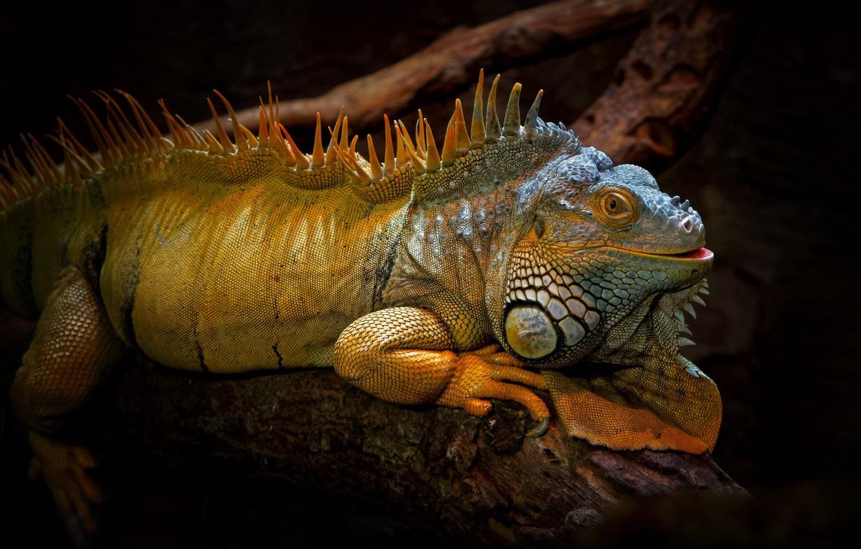 Photo wallpaper nature, background, iguana