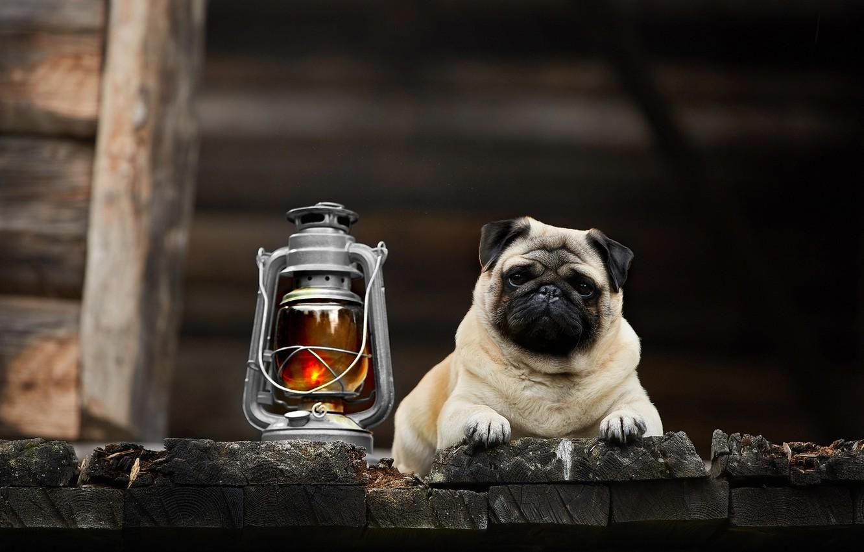 Photo wallpaper look, dog, lantern, pug, Lana Polyakova