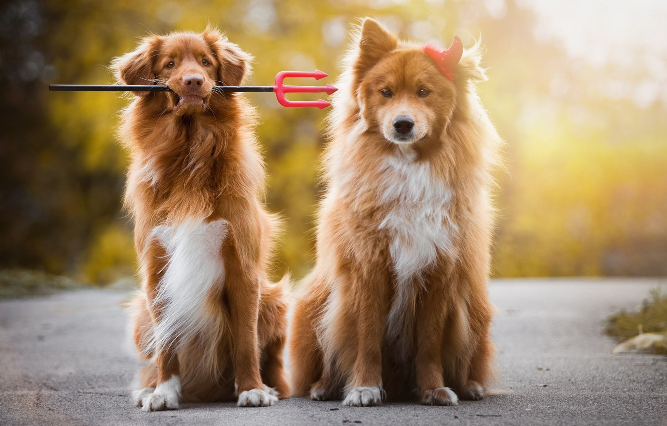 Photo wallpaper road, autumn, dogs, look, face, light, nature, pose, background, dog, puppies, red, friendship, pair, Trident, …