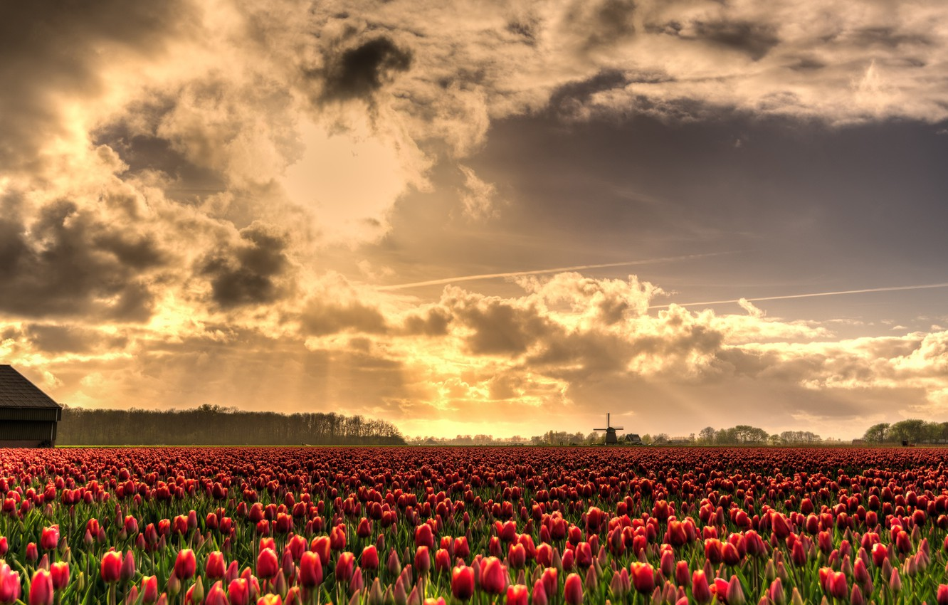 Photo wallpaper field, the sky, the sun, clouds, rays, light, flowers, beauty, spring, mill, tulips, red, Netherlands, …