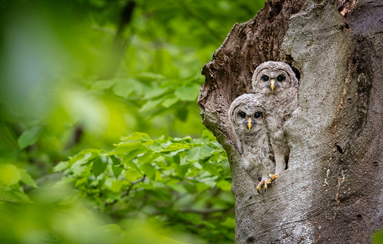 Photo wallpaper leaves, birds, tree, owls, a couple, Chicks, owlets, twins, the hollow, A barred owl