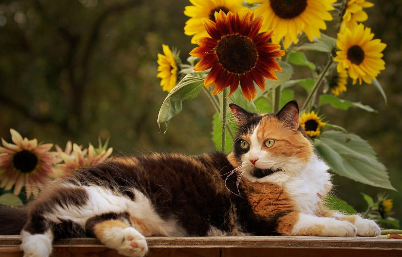 Photo wallpaper cat, sunflowers, flowers, cat