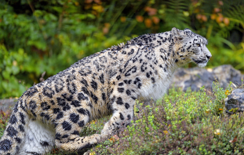 Photo wallpaper autumn, nature, profile, IRBIS, snow leopard, walk, bokeh