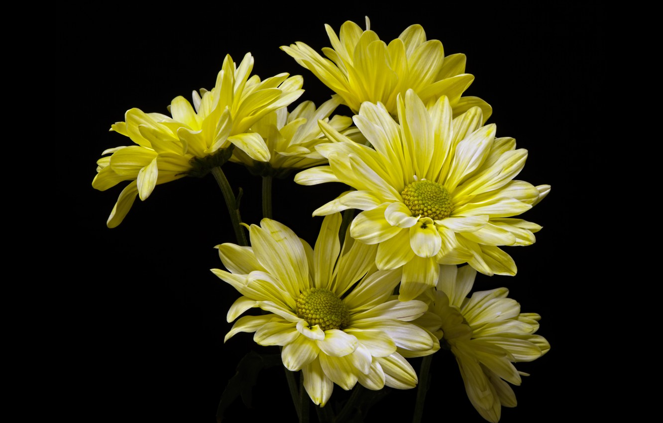 Photo wallpaper flowers, chrysanthemum, the dark background