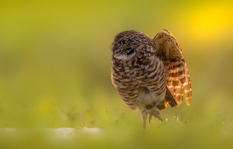 Photo wallpaper nature, bird, Burrowing owl