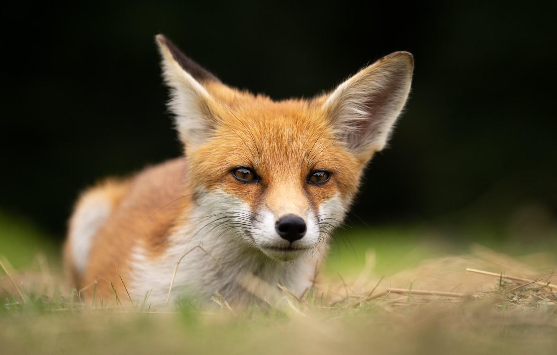 Photo wallpaper face, Fox, bokeh