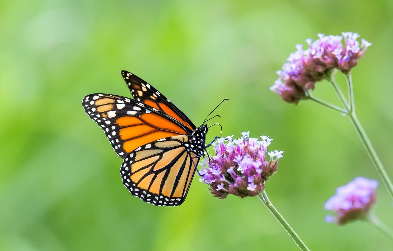 Photo wallpaper butterfly, flowers, butterfly