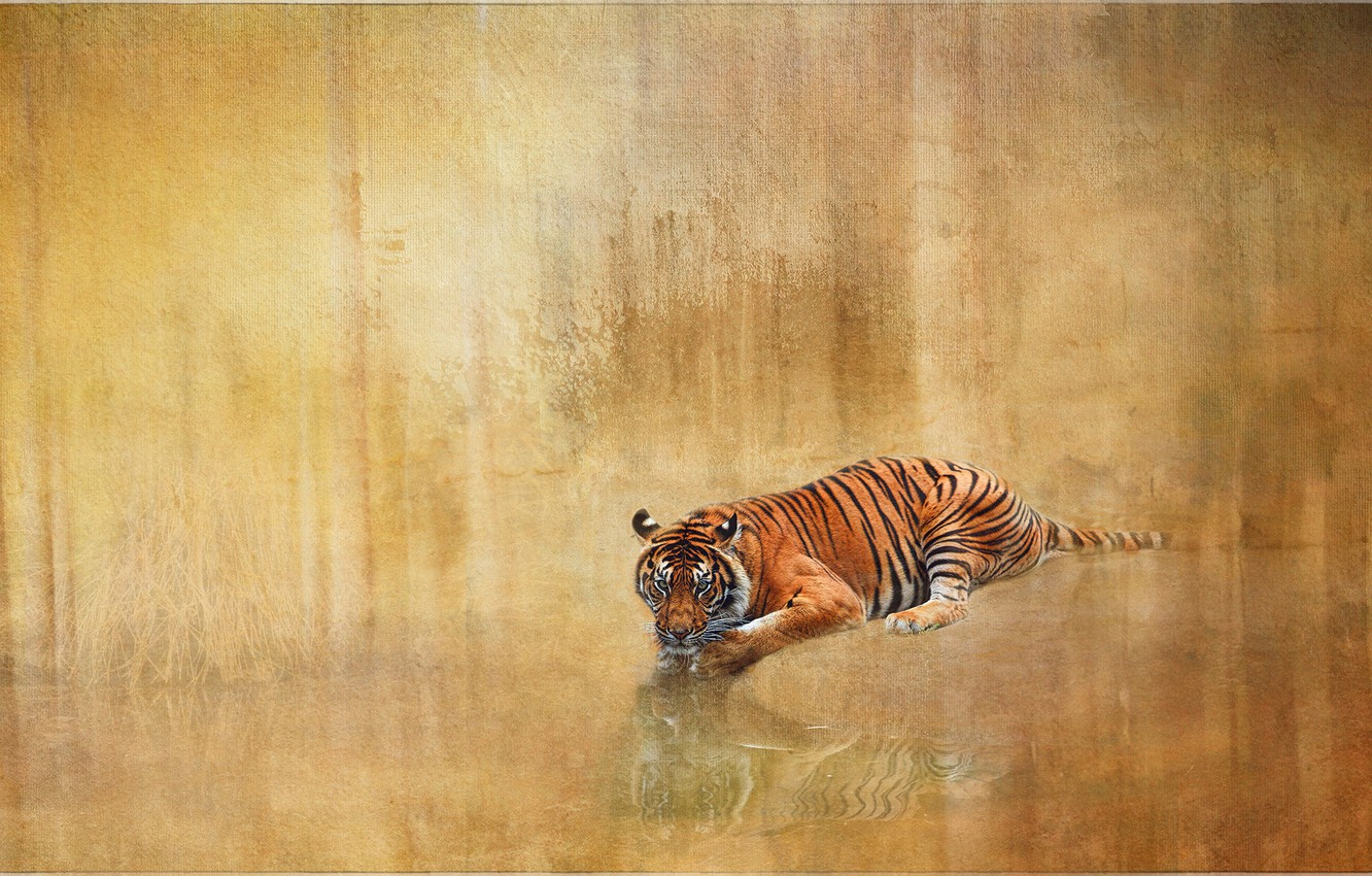 Photo wallpaper tiger, reflection, background, texture, wild cat