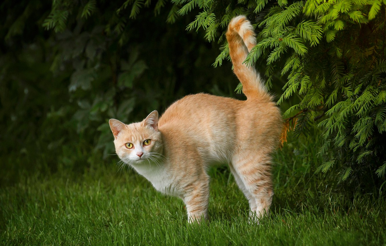 Photo wallpaper cat, grass, cat, branches, red, tail, cat