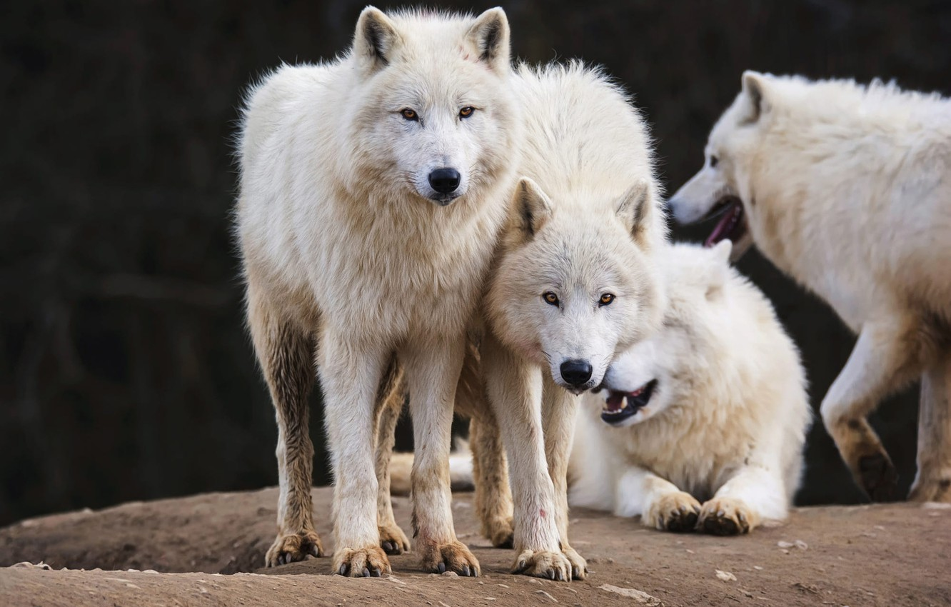 Wallpaper White Look Face Nature Pose The Dark Background Wolf Pack Paws Friendship Pair Wolves White Company A Couple Duo Images For Desktop Section Zhivotnye Download