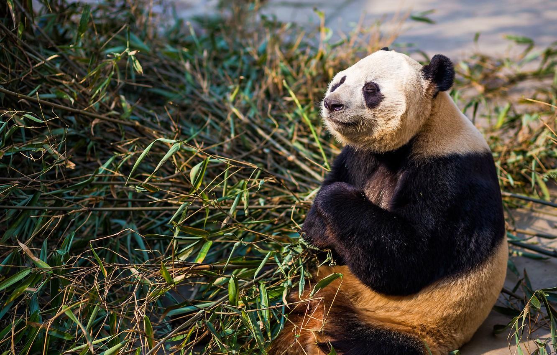 Photo wallpaper face, light, pose, paws, bamboo, bear, meditation, Panda, sitting, closed eyes