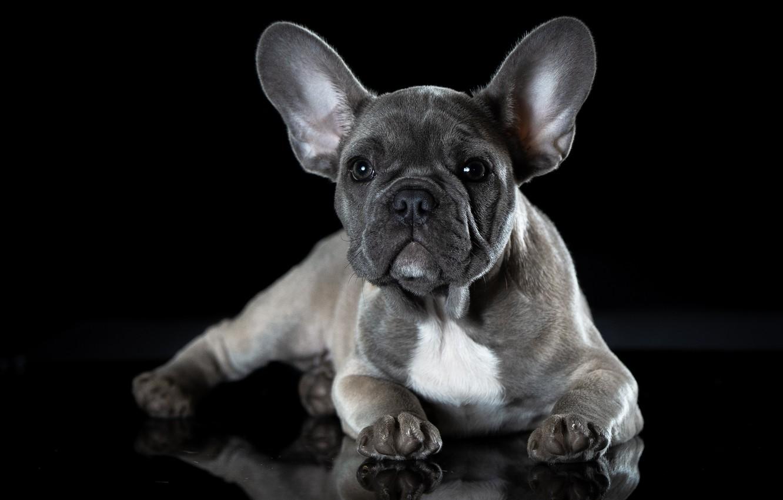 Photo wallpaper dog, French bulldog, puppy francescopaolo, щенокголубогофранцузскогобульдога