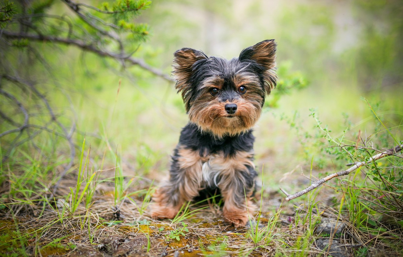Photo wallpaper grass, branches, nature, dog, puppy, needles, dog, green background, Yorkshire Terrier, little dogs, York Trier