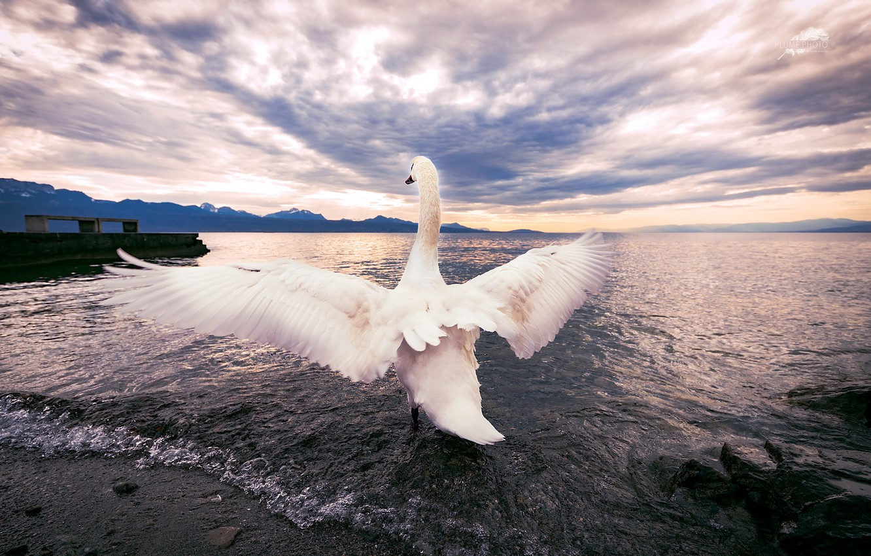 Photo wallpaper nature, bird, Swan