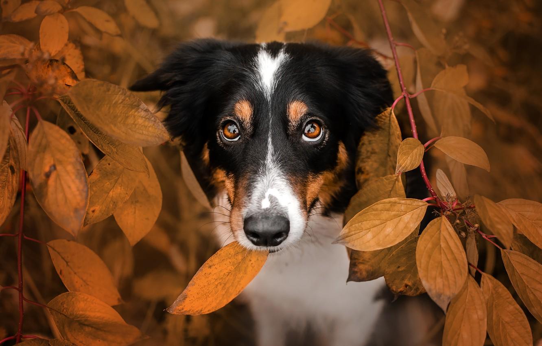 Photo wallpaper autumn, look, face, leaves, branches, dog, Ekaterina Kikot, Boder collie