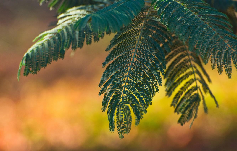 Photo wallpaper leaves, macro, Acacia