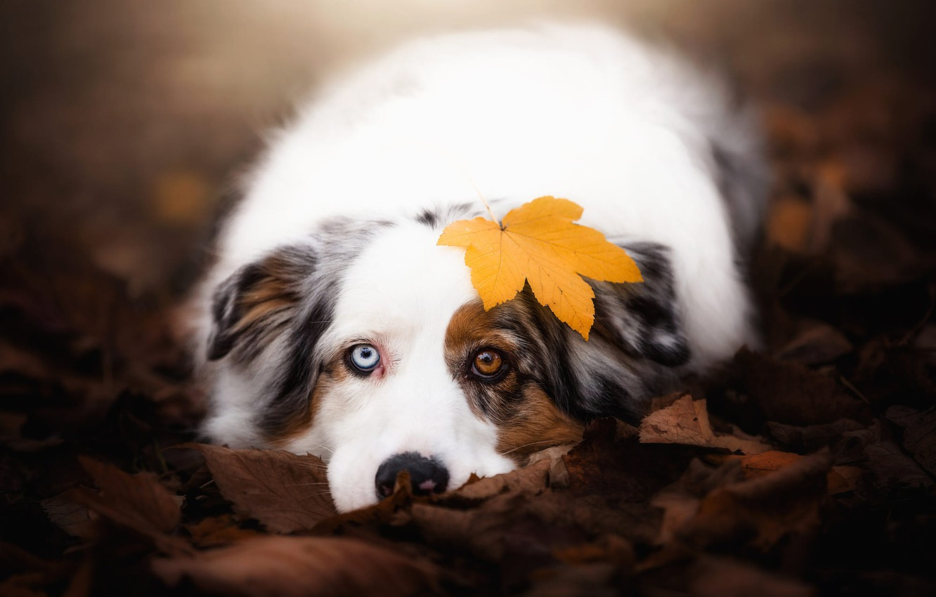 Photo wallpaper autumn, look, face, leaves, nature, background, mood, leaf, portrait, dog, lies, different eyes, Australian shepherd, …