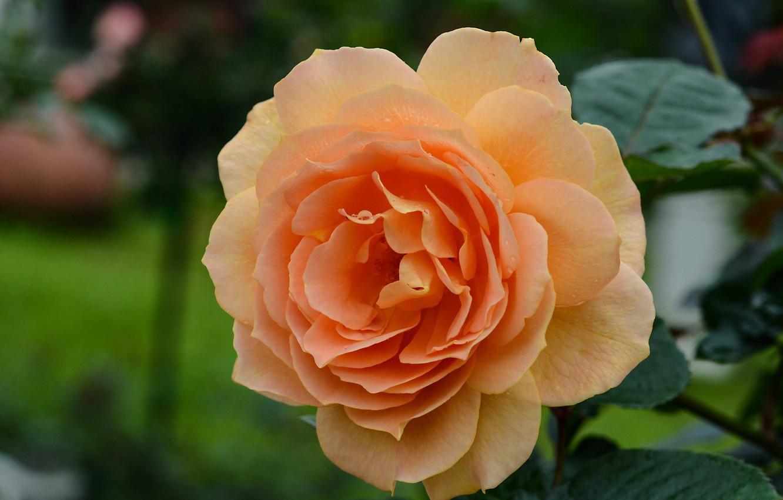 Photo wallpaper close-up, rose, orange, petals