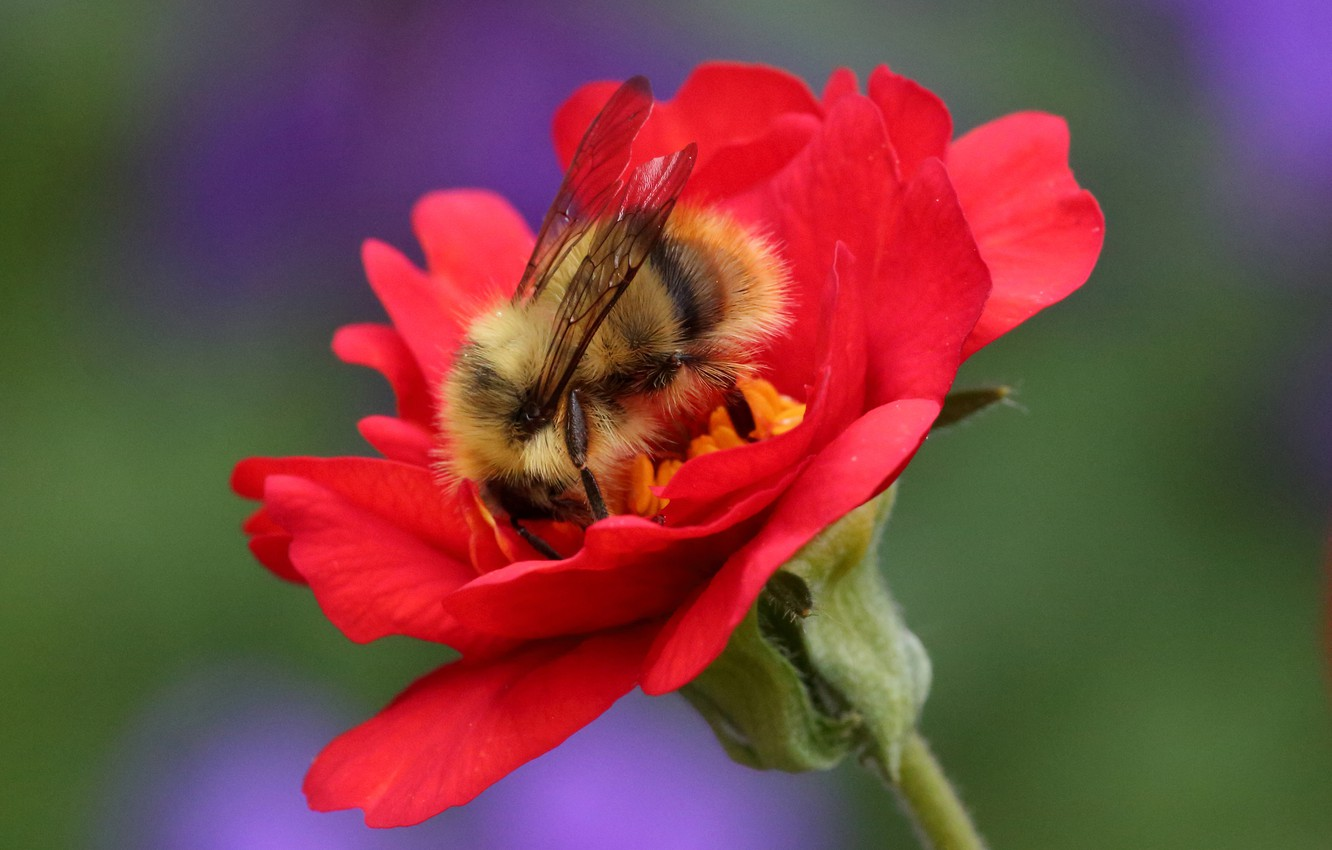 Photo wallpaper flower, macro, background, insect, Bumblebee, Geum