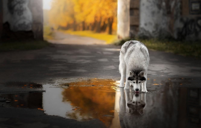 Photo wallpaper autumn, language, asphalt, water, trees, reflection, thirst, wall, dog, puddle, yard, drink, husky, dog, Siberian …