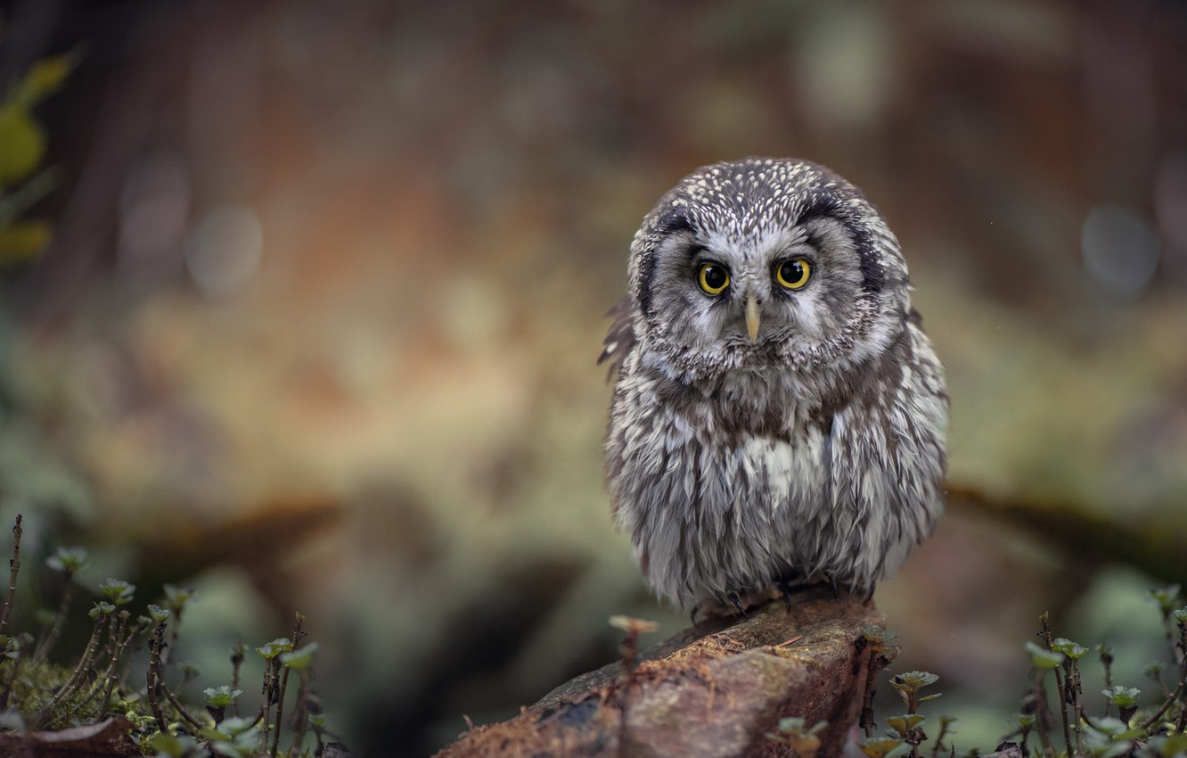 Photo wallpaper grass, look, nature, background, owl, bird, stone, bokeh, owl