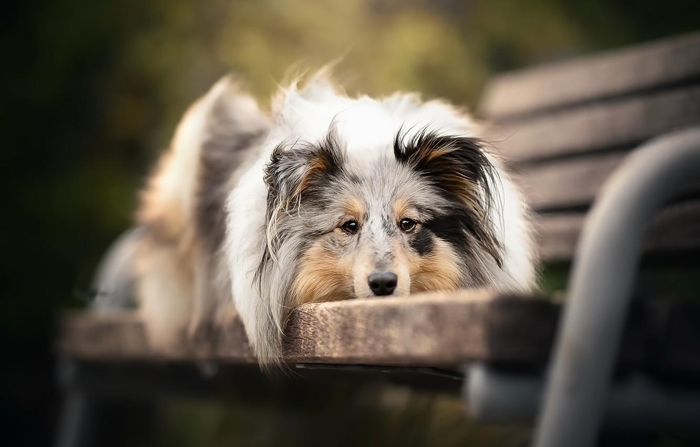 Photo wallpaper each, dog, bench