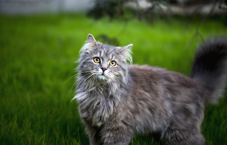 Photo wallpaper cat, grass, cat, look, face, grey, fluffy, lawn