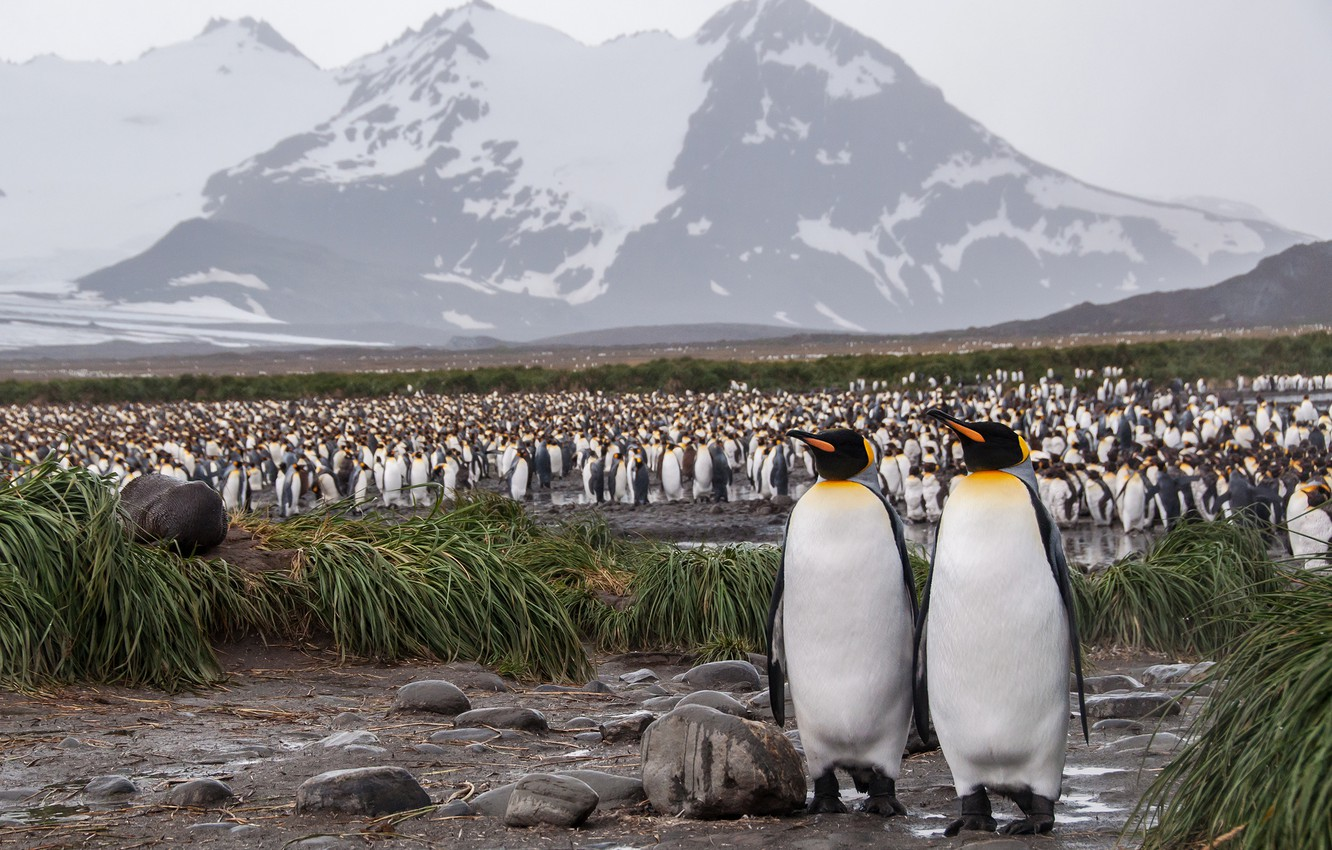 Photo wallpaper grass, mountains, birds, nature, shore, tops, pack, penguins, pair, a couple, Duo, a lot, Antarctica