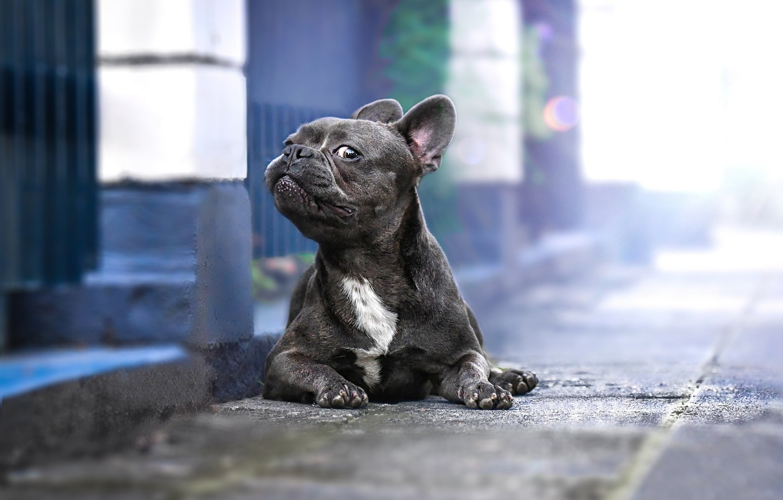 Photo wallpaper look, dog, French bulldog