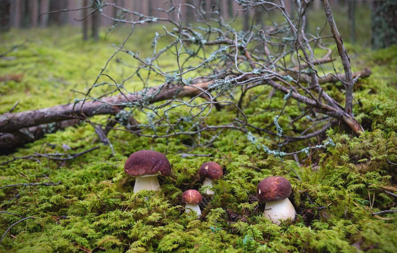 Photo wallpaper forest, mushrooms, moss, Quartet, mushrooms