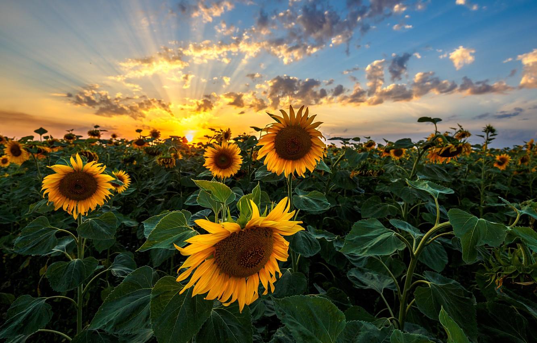 Photo wallpaper sunset, plants, sunflowers