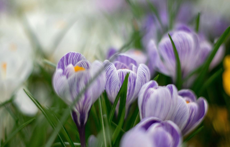 Photo wallpaper flowers, spring, crocuses