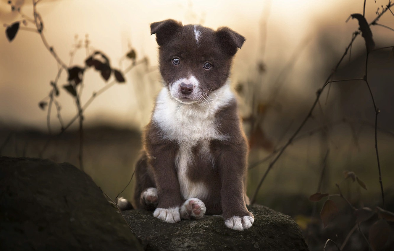 Photo wallpaper branches, nature, animal, stone, dog, puppy, the border collie