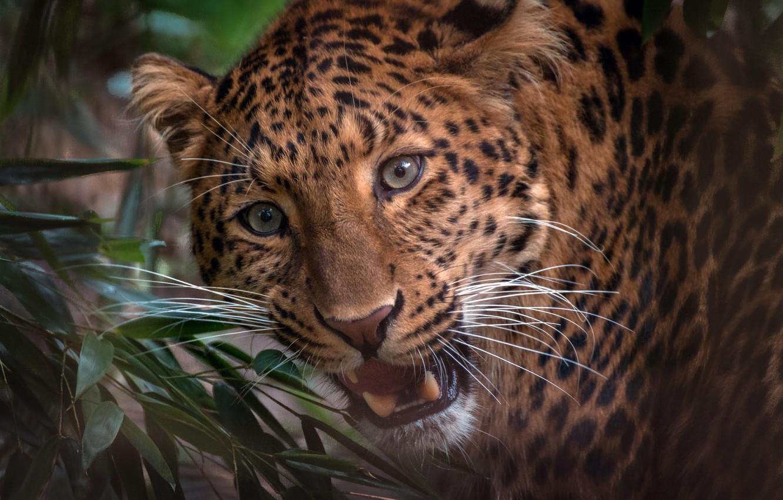 Photo wallpaper look, face, portrait, leopard, wild cat, handsome