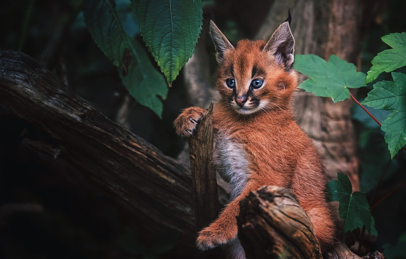 Photo wallpaper forest, cat, look, background, baby, kitty, lynx, face, cub, wild cat, Caracal, a small lynx, …