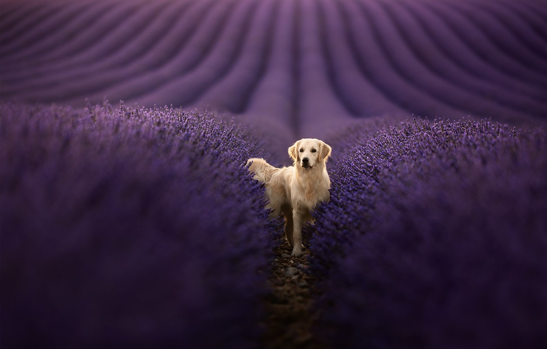 Photo wallpaper each, dog, lavender