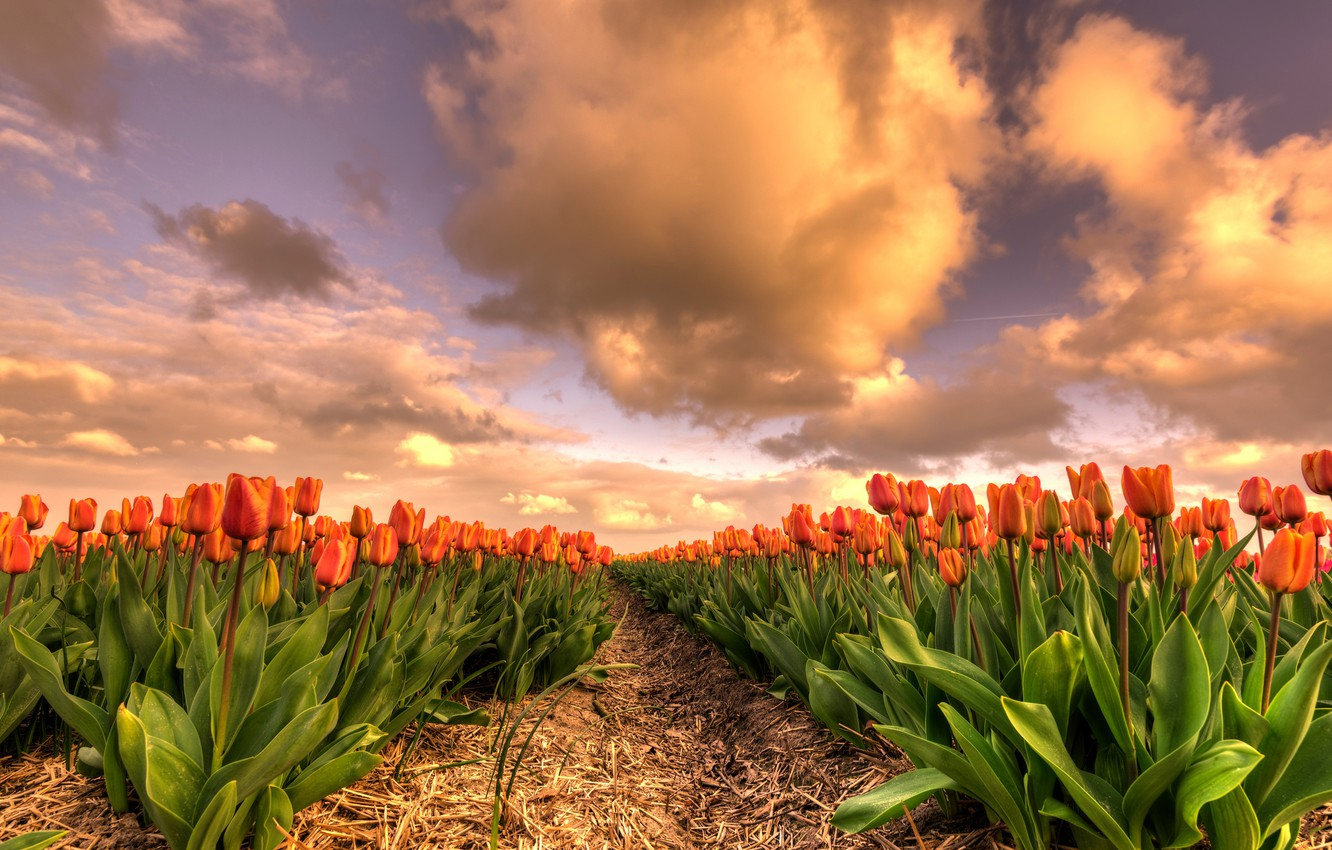 Photo wallpaper field, the sky, leaves, clouds, flowers, beauty, spring, the evening, tulips, straw, the beds, Netherlands, …