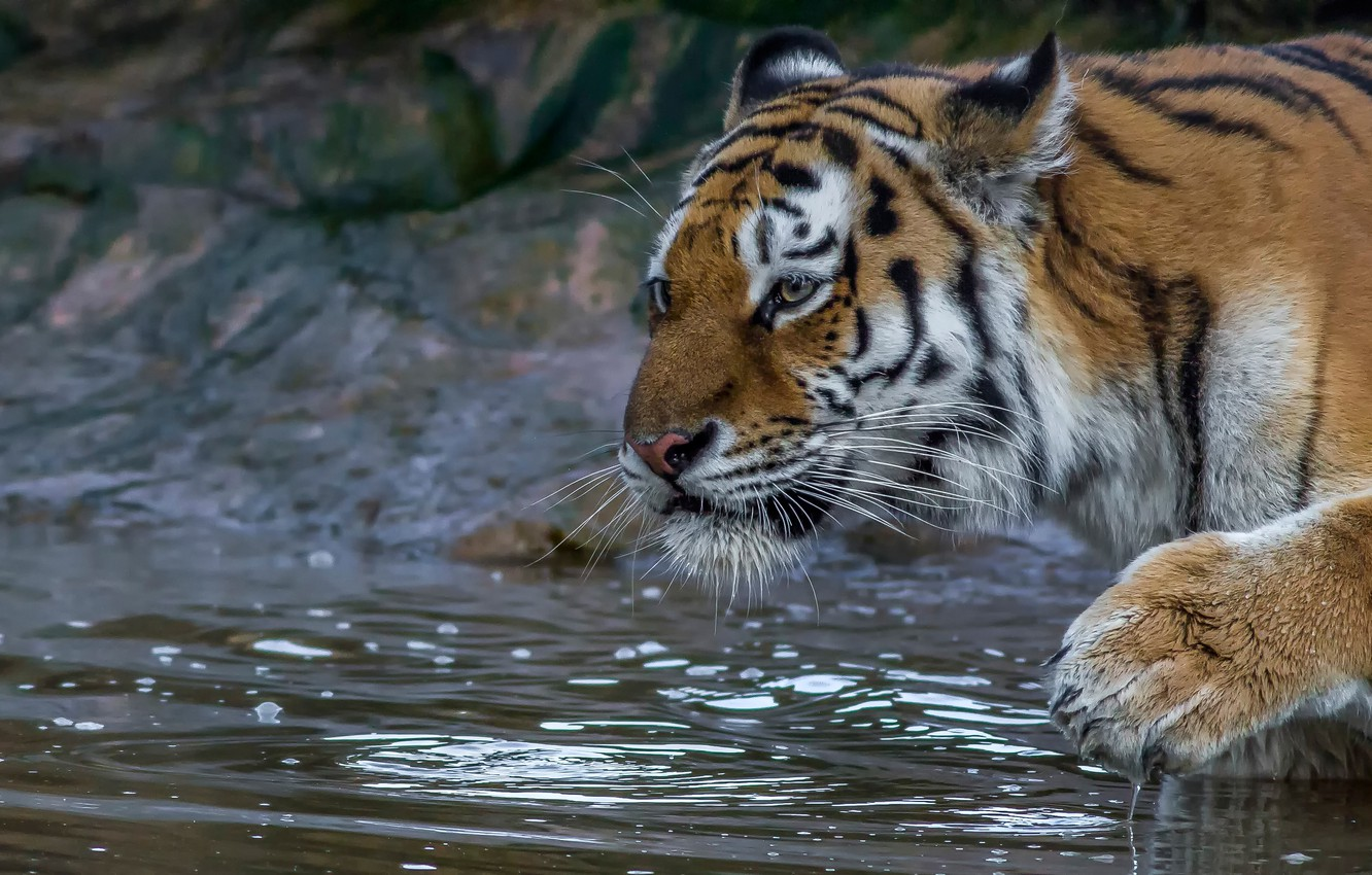 Photo wallpaper face, water, tiger, paw, wild cat