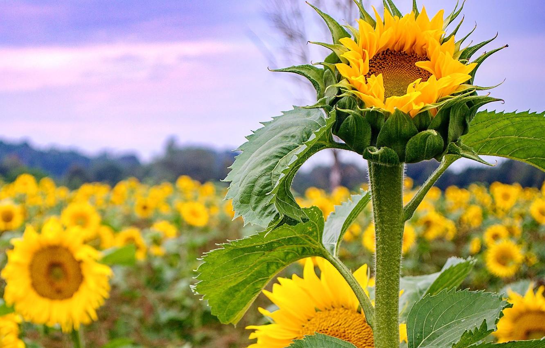 Photo wallpaper field, sunflower, petals