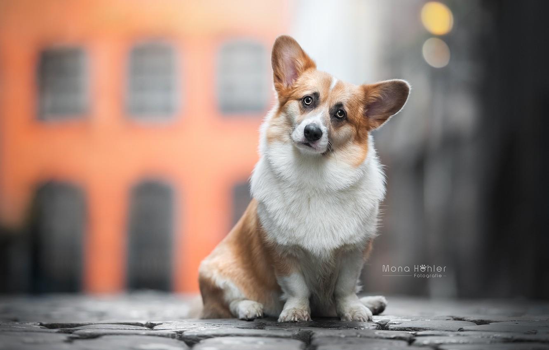 Photo wallpaper look, dog, ears, face, bokeh, Welsh Corgi