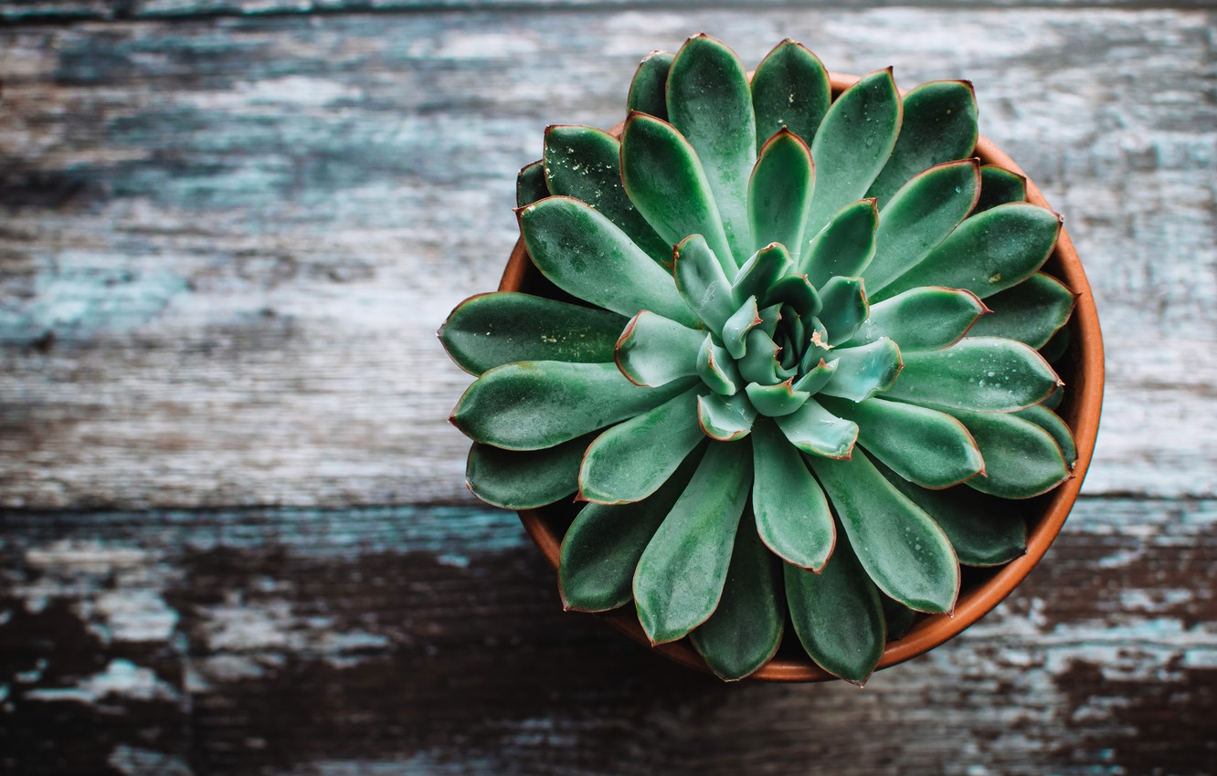Photo wallpaper A Flower In A Pot, Echeveria, Echeveria, The flower on the table