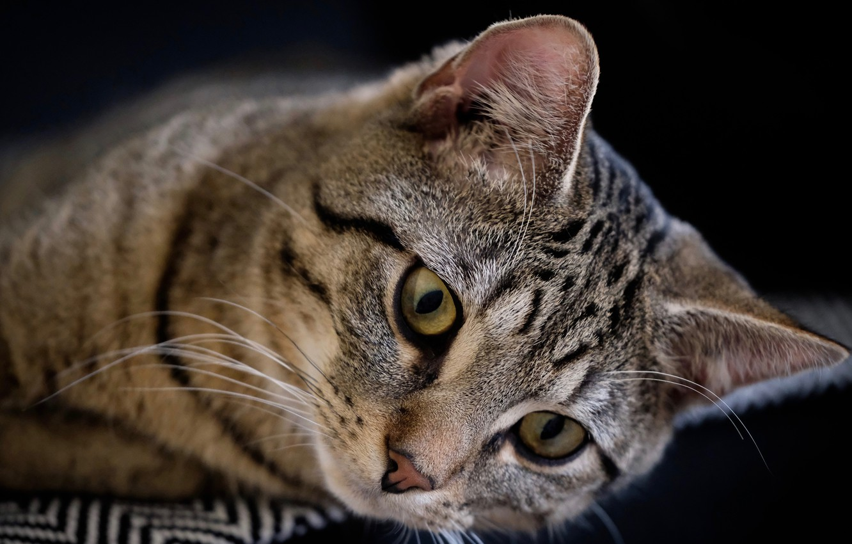 Photo wallpaper cat, look, muzzle, black background