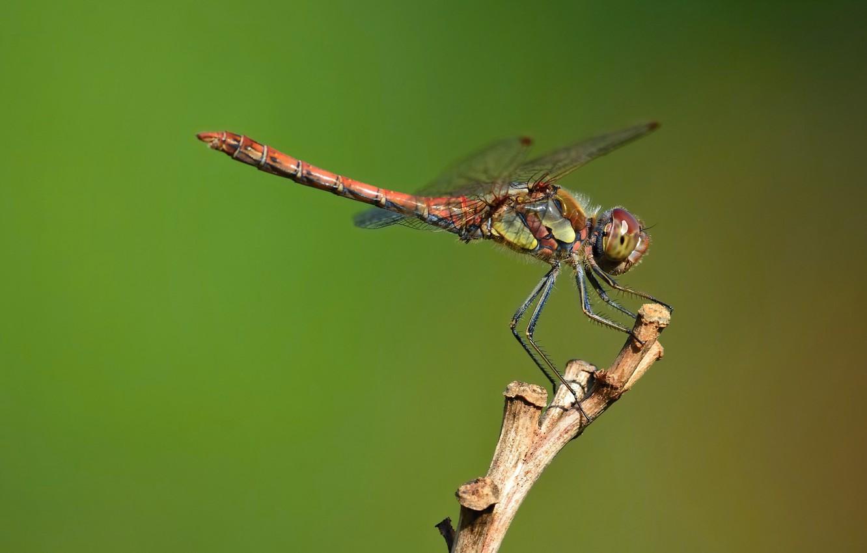Photo wallpaper dragonfly, dragonfly-kamenushka, shebroke
