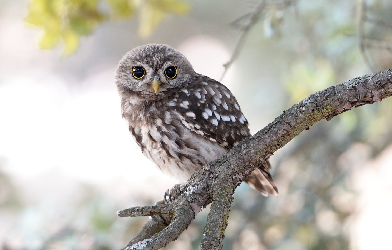 Photo wallpaper owl, bird, branch, little owl